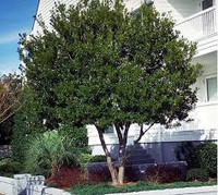 """Keep bottom limbs and twigs pruned for the """"tree form"""" look."""