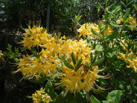 Rhododendron austrinum Pure Yellow 1gallon SOLD OUT