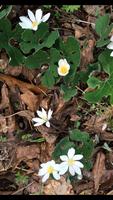 Sanguinaria canadensis Bloodroot  pints
