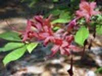 Rhododendron prunifolium Plumleaf Azalea