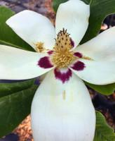 Magnolia asheii Ashe Magnolia