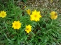 Coreopsis lanceolata Lanceleaf Coreopsis