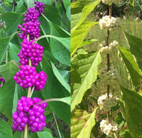 We also offer white beautyberry