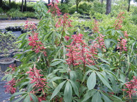 Aesculus pavia Red Buckeye