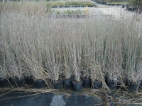 Andropogon virginicus 'Silver Beauty' Bluestem Grass 1gallon