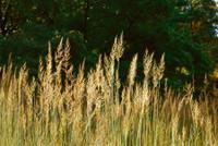 Sorghastrum nutans Yellow Indiangrass