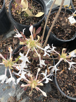 Rhododendron canescens 'Chocolate Drop' 1gallon