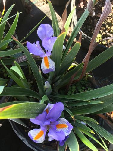 Iris verna Violet Iris