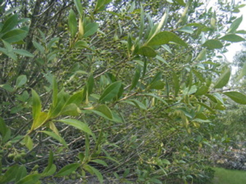 Osmanthus americanus Devilwood 1gallon