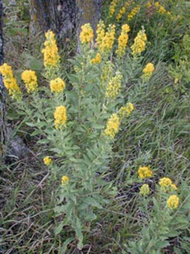 Solidago petiolaris Downy Goldenrod 1gallon