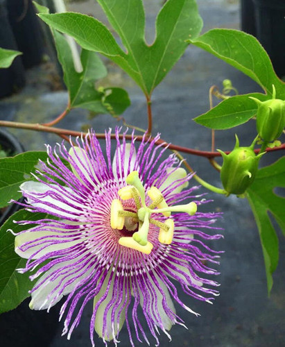 Passiflora incarnata Passion Vine