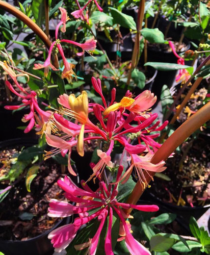 Lonicera x heckrotti GOLD FLAME Honeysuckle