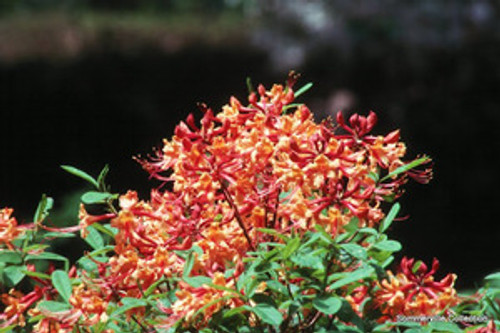 Rhododendron austrinum Flame Azalea