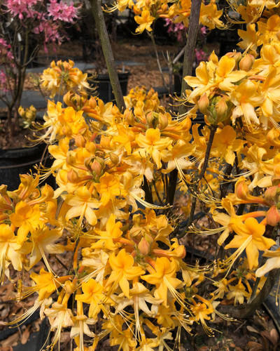 Rhododendron austrinum Moonbeam Ready Sept
