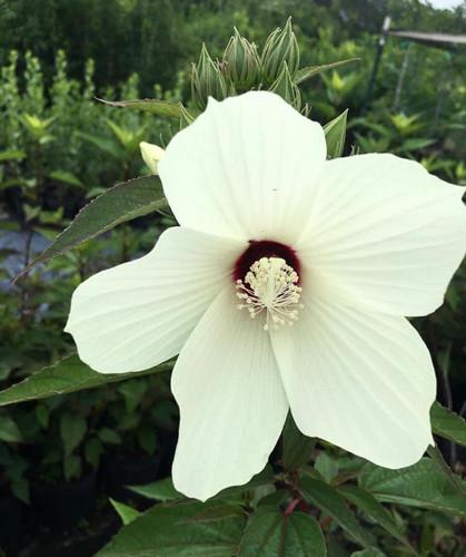 Hibiscus moscheutos Swamp Mallow