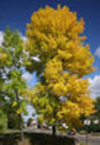 Fraxinus pennsylvanica Green Ash