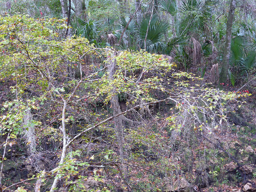 Crataegus marshallii (Parsley Hawthorne