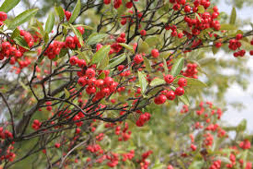 Aronia arbutifolia Red Chokeberry
