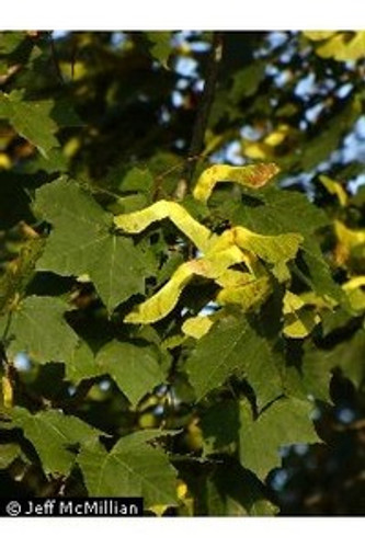 Acer saccharum var. floridanum Southern Sugar Maple 1gallon