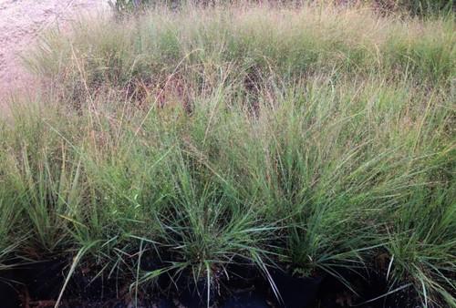 Eragrostis elliotti Elliotts Love Grass