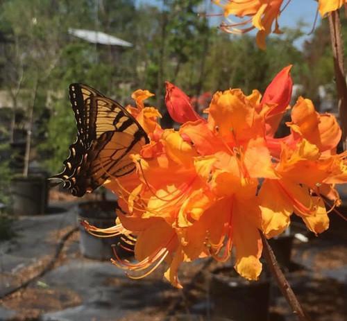 Rhododendron x Stonewall Jackson 1gallon