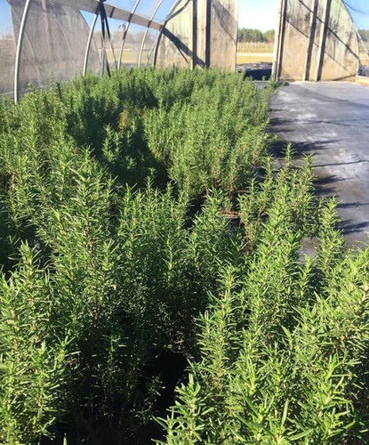 Rosmarinus officinalis Culinary Rosemary