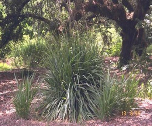 Tripsacum dactyloides Fakahatchee Gamma Grass