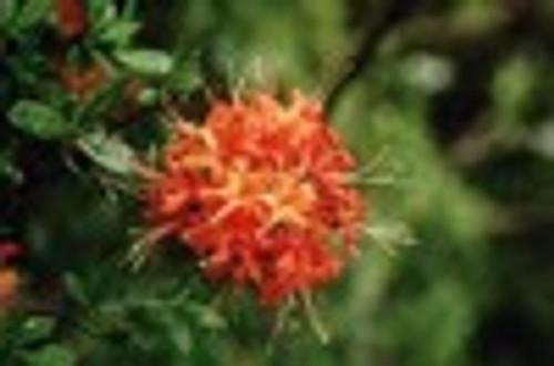 Rhododendron flammeum Oconee Azalea