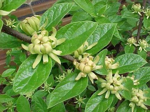Calycanthus floridus 'Athens' Yellow flowering Sweetshrub