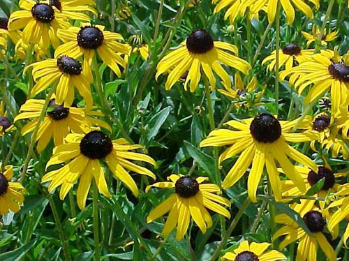 Rudbeckia fulgida Black eyed Susan Orange Coneflower 1gallon