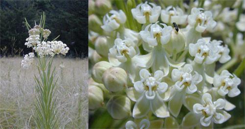 Asclepias verticillata Whorled milkweed 1gallon