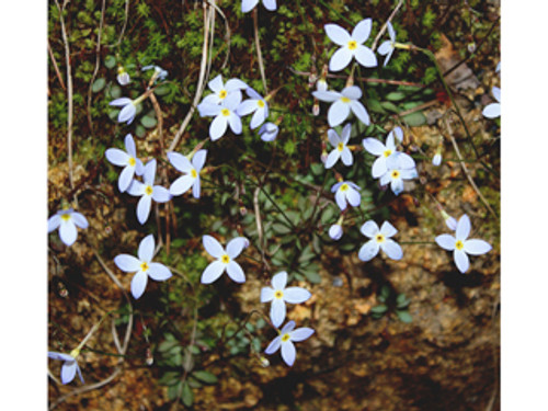 Houstonia caerulea  Little Bluet