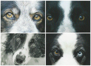 Border Collie Eyes on Ewe - Card Set