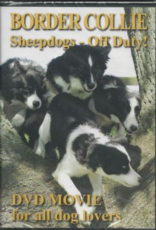 Border Collie Sheepdogs - Off Duty!