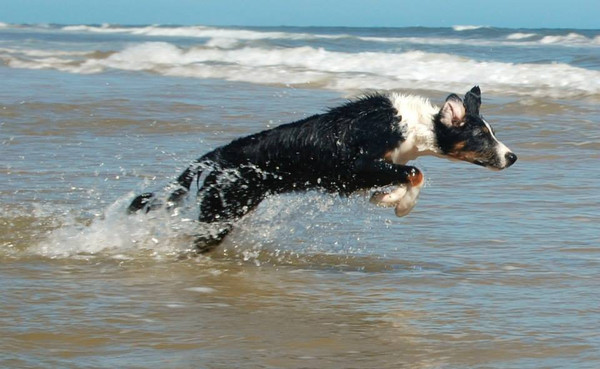 Border Collies and Heat