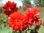 Dahlias multi colors