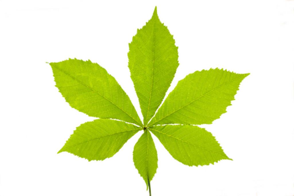Bach Flower Essence - Chestnut Bud