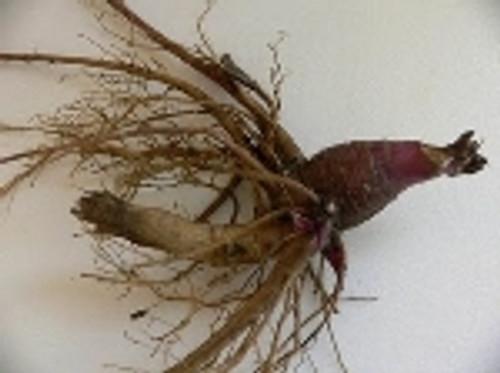 Echinacea purpurea Root Extract