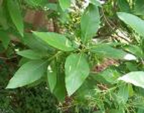 Fringe Tree Bark Extract