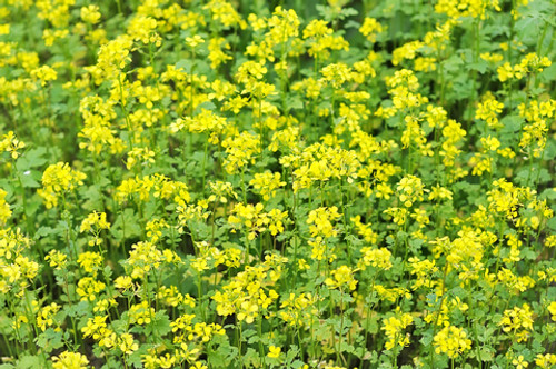 Bach Flower Essence - Mustard