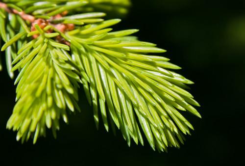 Bach Flower Essence - Pine