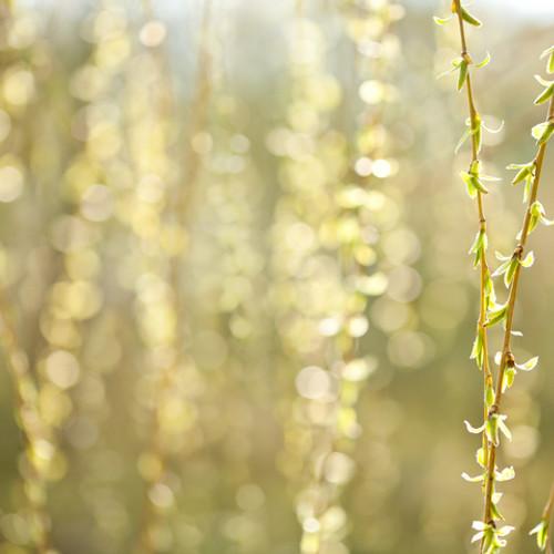 Bach Flower Essence - Willow