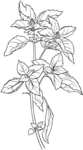 Basil (Ocimmum basilicum) Essential Oil - 5 ml
