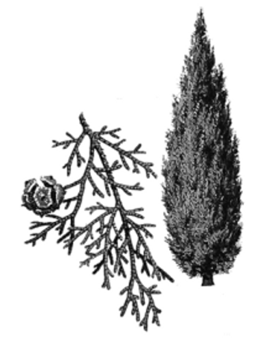 Cypress (Cupressus sempervirens) Essential Oil - 5 ml