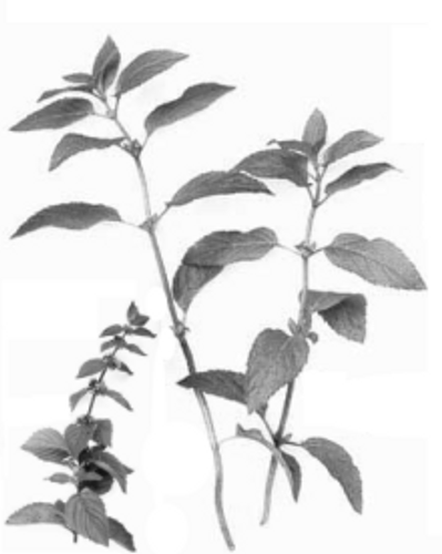 Peppermint (Mentha piperita) Essential Oil - 5 ml