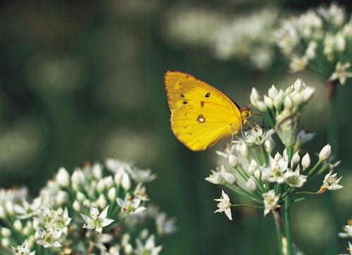 Alfalfa Herb Extract