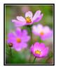 Pink Cosmos Flower Detail in a Garden 2526