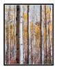 Golden Autumn Aspens 175