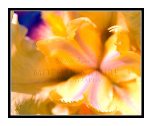 Yellow Iris Detail in a Garden 1265