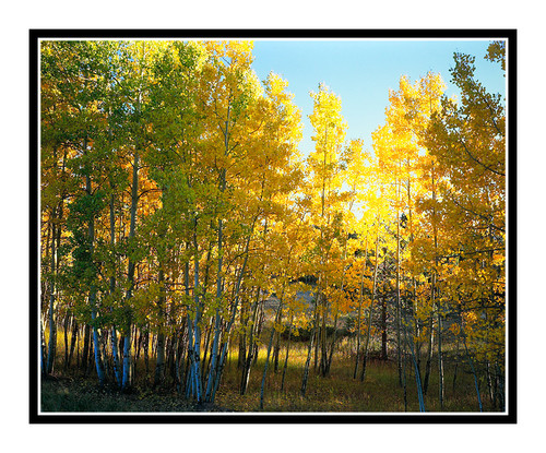 Aspens in Autumn in Woodland Park, Colorado 95